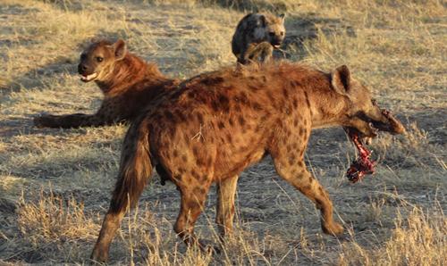 HyenasMara
