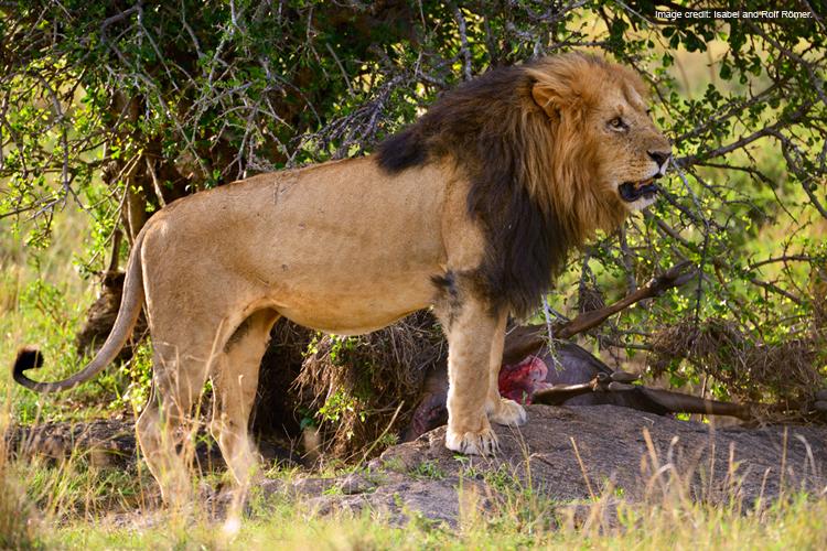 LionMigrationGnuMaraIRR