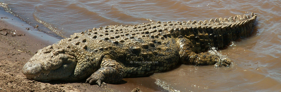 Nile Crocodile. Tano Safaris.