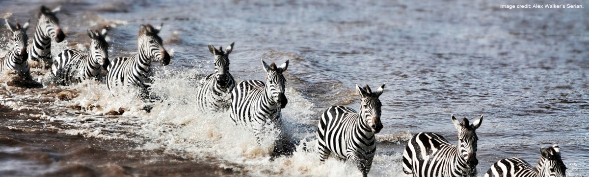 AWS ZebrasRiverCrossing