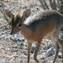 Meet the Dik-diks!