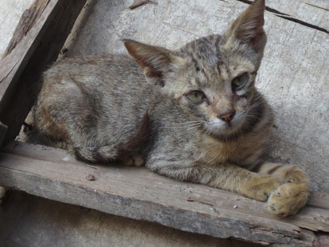 Cat Lamu B