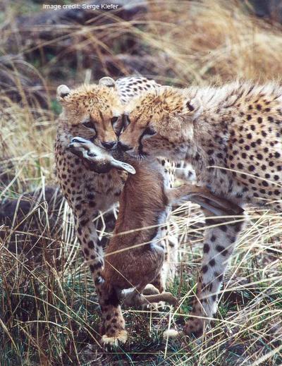 Cheetah duo with Thomson gazelle