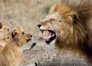 Wildlife safaris